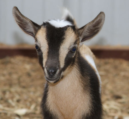 ADGA goat for sale